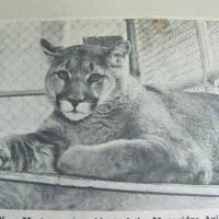 tiger-tom-1-1967