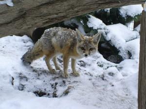 San Joaquin Kit Fox » Big Bear Alpine Zoo