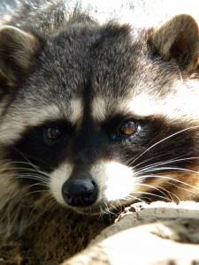 Raccoon big bear alpine zoo for Do raccoons eat fish