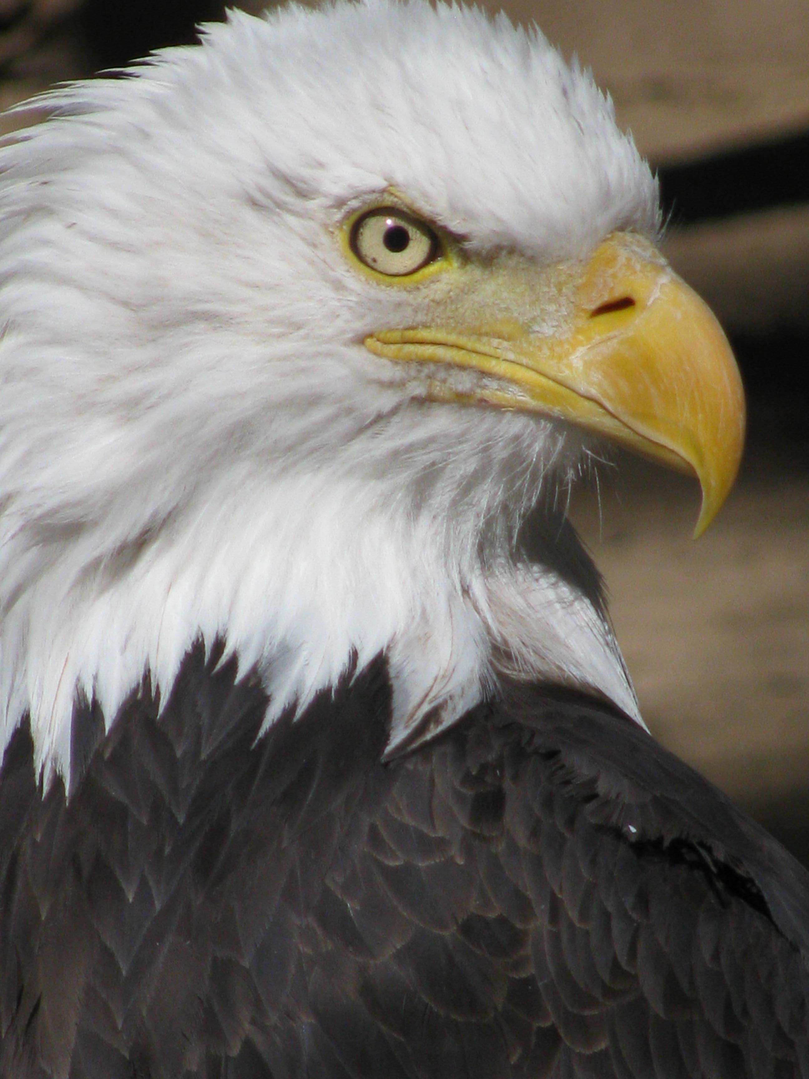 Bald Eagle Big Bear Alpine Zoo